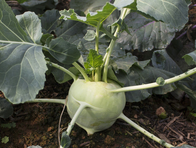 Kohlrabi growing in the garden.